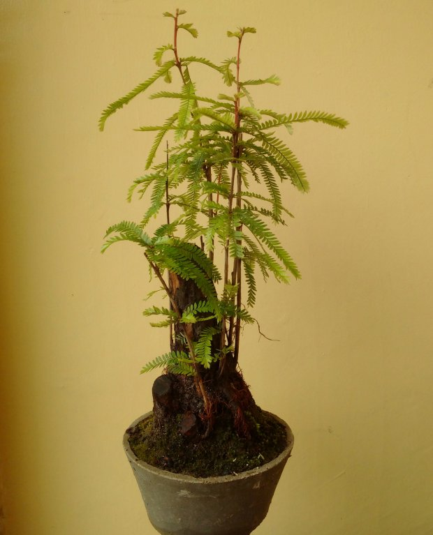 Golden Shower Bonsai Plant from Sibunga Cebu