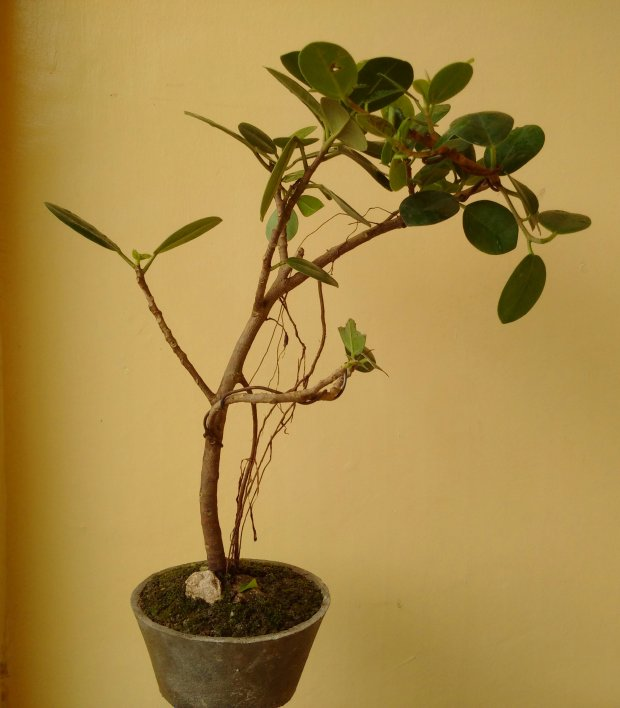 Apple Pycos  Bonsai Plant from Sibonga Cebu