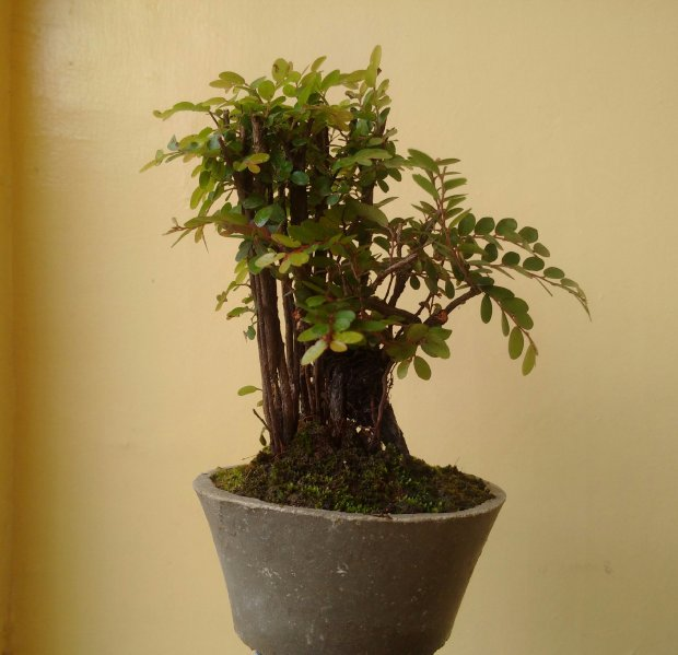 Red Money Maker Bonsai Plant from Sibonga Cebu